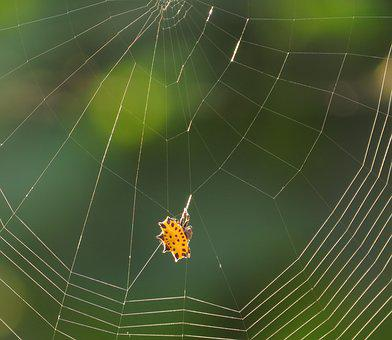 Spider, Web, Arachnid, Insect, Colombia
