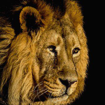 Lion, Cat, Mammal, Animal World, Portrait, Animal