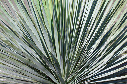 Nature, Leaf, Plant, Cactus, Background, Yucca, Close