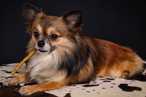 Chihuahua, Cute, Mammal, Animal, Pet, Dog, Small Dog