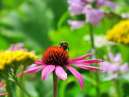 Sun Hat, Echinacea, Nature, Flower, Plant, Insect