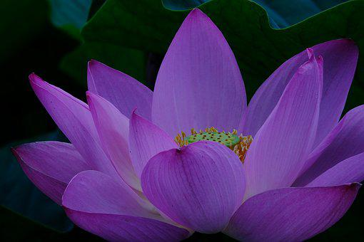 Flowers, Plant, Lotus, Natural, Leaf, Aquatic