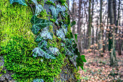 Ivy, Tree, Leaf, Plant, Nature, Moss, Green, Forest