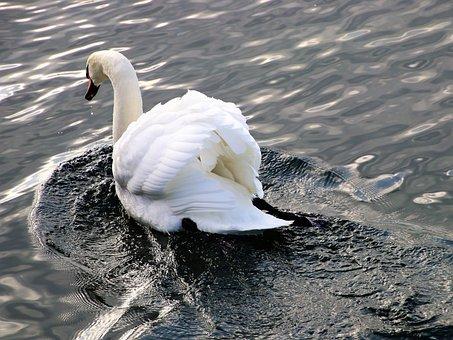 Lake, Birds, Nature, Beautiful, Pen, Wild Birds