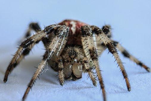 Spider, Arachnid, Insect, Nature, Creepy, Phobia