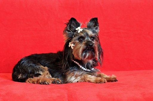 Yorkshire Terrier, Dog, Lie, Cute, Nice