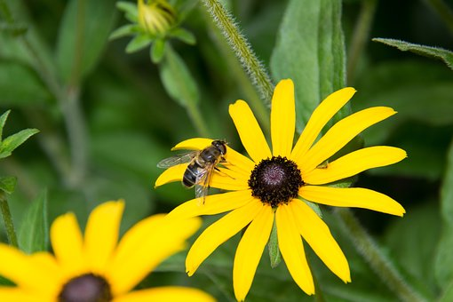 Fly, Hoverfly, Yellow, Flower, Nature, Plant, Summer