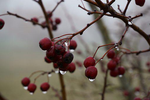 Fruit, Nature, Tree, Berry, Branch
