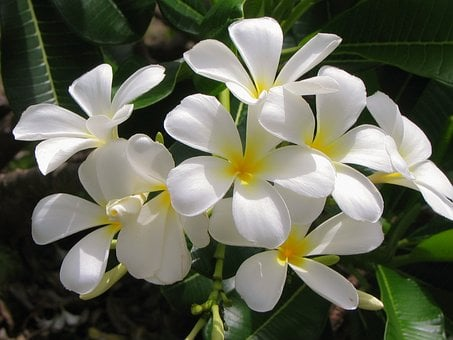 Jasmine, Flower, White Flower, White, Plant, Tropical