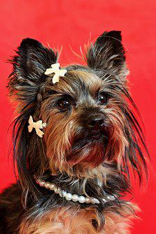 Yorkshire Terrier, Dog, Portrait, Cute, Nice