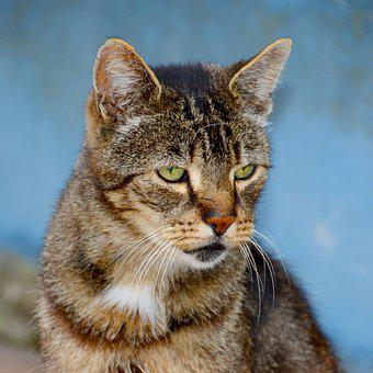 Cat, Animal, Mammal, Cute, Fur, Kitten, Portrait, Pet