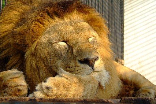 Mammal, Animal, Wildlife, Nature, Cat, Lion, Wild, Zoo