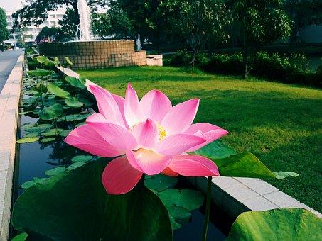 Lotus, Garden, Flower, Nature, Summer, Blooming, Park