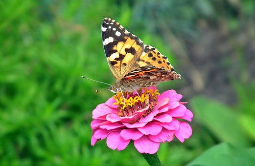 Nature, Butterfly Day, Insect, At The Court Of, Summer