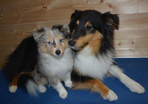 Dogs, Pup, Shetland Sheepdog, Puppy