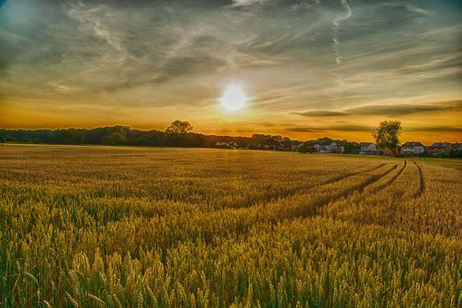 Field, Agriculture, Farm, Landscape, Rural, Wheat