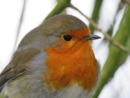 Robin, Portrait, Close, Animal World, Bird, Nature