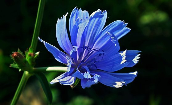 Nature, Flower, Chicory, Summer, Plant, Meadow, Closeup