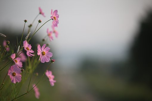 Flowers, Nature, Plants, Summer, Petal, Autumn, Cosmos