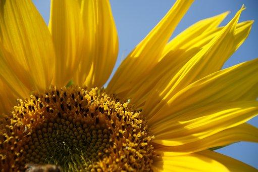 Sun Flower, Summer, Blossom, Bloom, Flower, Sun, Plant