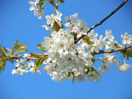 Blossoming Cherry, White Flowers, Branch, Tree, Spring