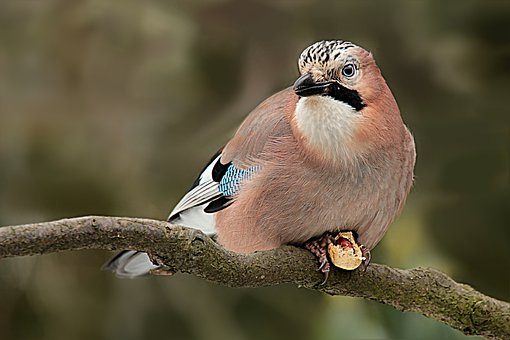 Animal, Bird, Jay, Garrulus Glandarius, Hunger