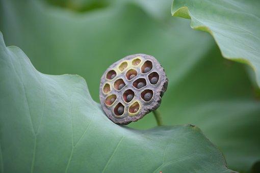 Plants, Nature, Close, Wallpaper, Garden, Lotus Seed