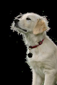 Golden Retriever, Dog, Hundeportrait, Animal, Pet