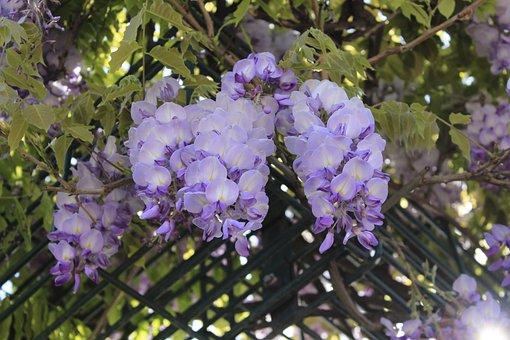 Flower, Flora, Nature, Garden, Leaf, Wisteria, Spring