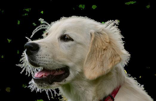 Golden Retriever, Isolated, Dog, Animal, Pet