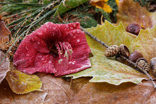 Nature, Leaf, Flower, Frost, Hoarfrost, Fall Leaves