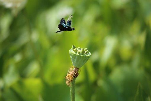 Nature, Leaf, Outdoors, Summer, Plants, Lotus Seed