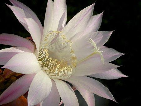 Flower, Lotus, Bloom, Petal, Pure, Floral, Tropicale