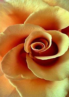 Rose, Flower, Petal, Flowers, Background, Romance