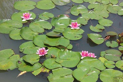 Pond, Lotus, Lily, Aquatic Plants, Flower, Leaf