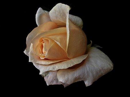 Flower, Nature, Rose, Love, Closeup, Garden, Summer