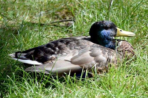 Duck, Drake, Bird, Nature, Animal World, Feather, Grass