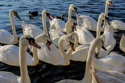 Swan, Waters, Bird, Nature, Lake, Animal, Animal World