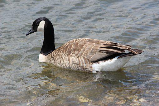 Bird, Nature, Waters, Animal World, Puddle, Duck, Goose