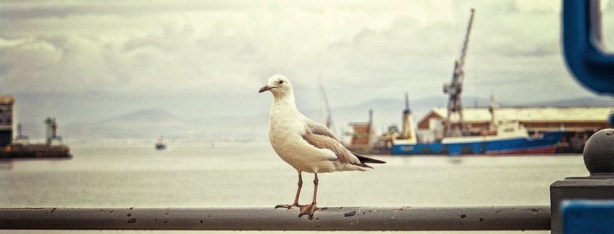 Seagull, Water, Nature, Bird, Sky, Ocean, Capetown