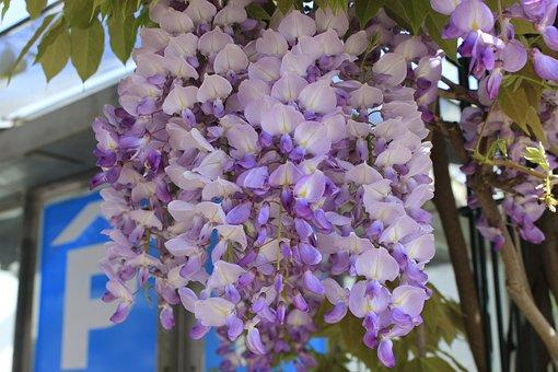 Flower, Flora, Garden, Nature, Blooming, Wisteria