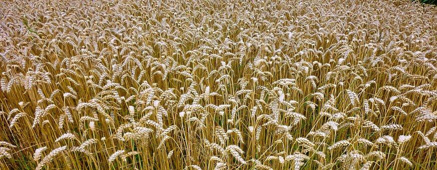 Nature, Background, Grain, Cereals, Spike, Rural