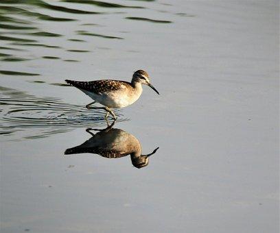 Bird, Wildlife, Water, Nature, Lake, Wood Sandpiper