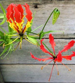Flower, Nature, Flora, Summer, Leaf, Gloriosa Lily
