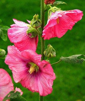 Flower, Petal, Pink, Plant, Nature, Malvakasvit