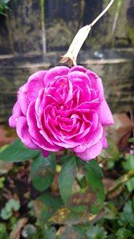 Flower, Nature, Leaf, Flora, Rose, Floral, Petal