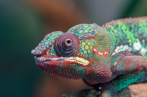 Chameleon, Colorful, Lizard, Animal, Close-up, Zoo