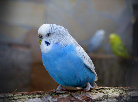 Bird, Animal World, Animals, Nature, Feather, Budgie