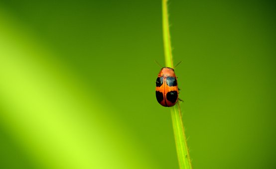 Ladybug, Insect, Leaf, Beetle, Nature, Biology