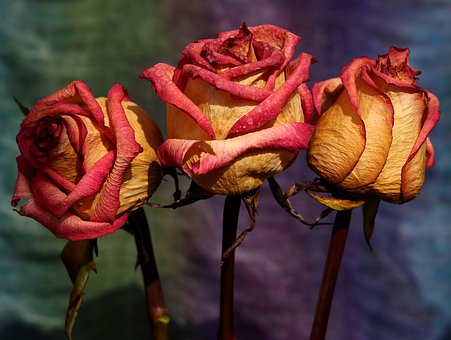 Rose, Red, Yellow, Dry, Flower, Petals, Three